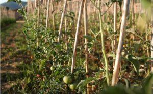 Plantación y cosecha